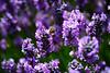 Lavender 139