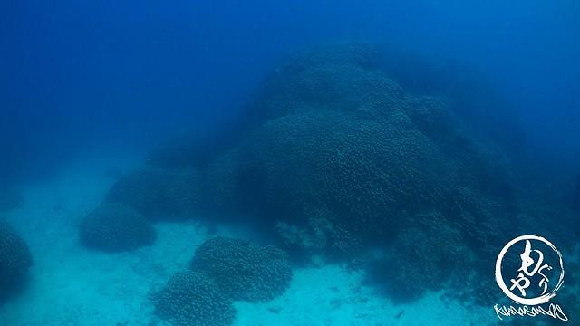 大きなコモンシコロサンゴ♪