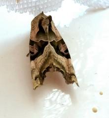 HolderAngle Shades Moth