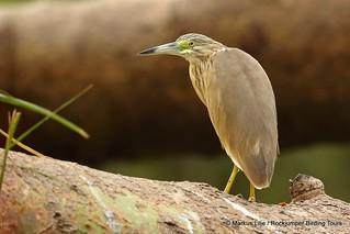Squacco Heron, QENP -007