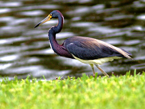 Tricolored Heron 01-20170605