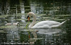 Mute swan on water with cygnets by Philip Pound Photography