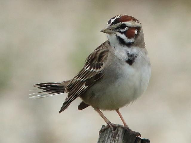 Lark Sparrow 002-20170524