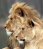 african lion Beekse bergen JN6A0898