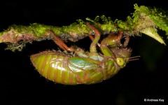 Cicada larva