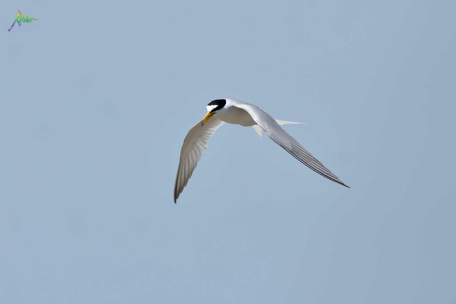Little_Tern_2686