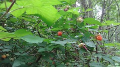 Salmonberries? West Coast wineberries