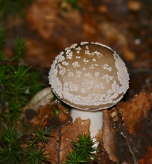 Panthercap Mushroom (Amanita pantherina) - Photo of Chenay