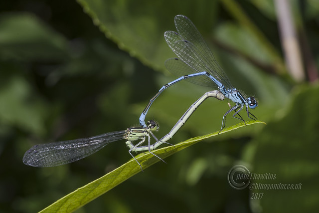 _IMG7833 Azure  Damselflies in copulation wheel (In Explore)