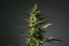 Top Quality Cannabis Seeds For Sale in USA