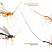 Giant Ichneumon Wasp 2.pages