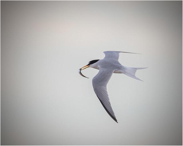 Little Tern, Horsey Island, Nikon D500, AF-S VR Nikkor 500mm f/4G ED