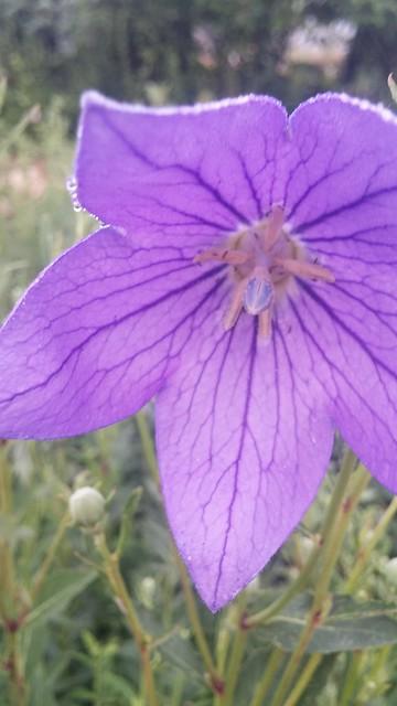 마당밭 도라지꽃: 일신우일신