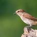 Red Backed Shrike (Female )