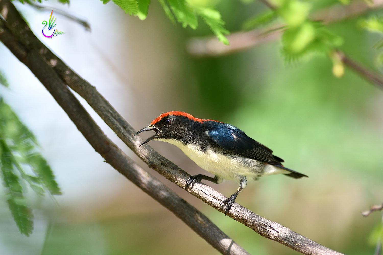 Scarlet-backed_Flowerpecker_8911