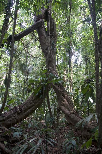 liana 0001 Corcovado, Osa peninsula, Costa Rica