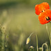 Poppies by warmianaturalnie