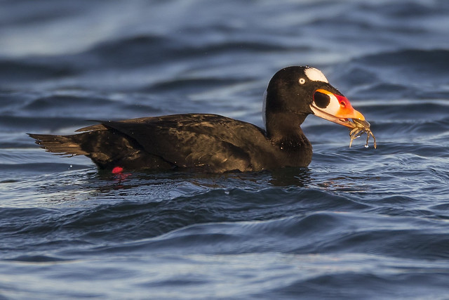 Surf Scoter with a, Canon EOS-1D X, Canon EF 800mm f/5.6L IS