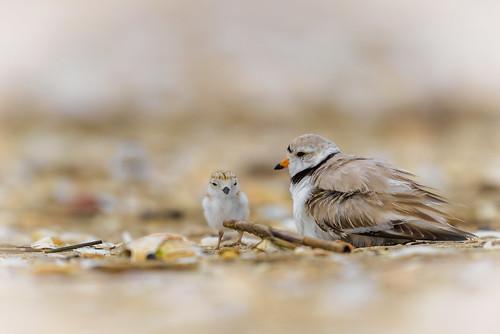 shorebird pipingplover beach northbeach charadriusmelodus bird plover chick wildlife shore sandyhook nature gatewaynationalrecreationarea highlands newjersey unitedstates us nikon d800e