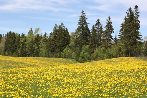 milton pei canada dandelions trees field springvale