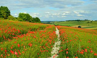 Poppies, Streatley, Berkshire, England