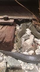 Snake at Pink Palace Museum