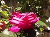 Loving roses!