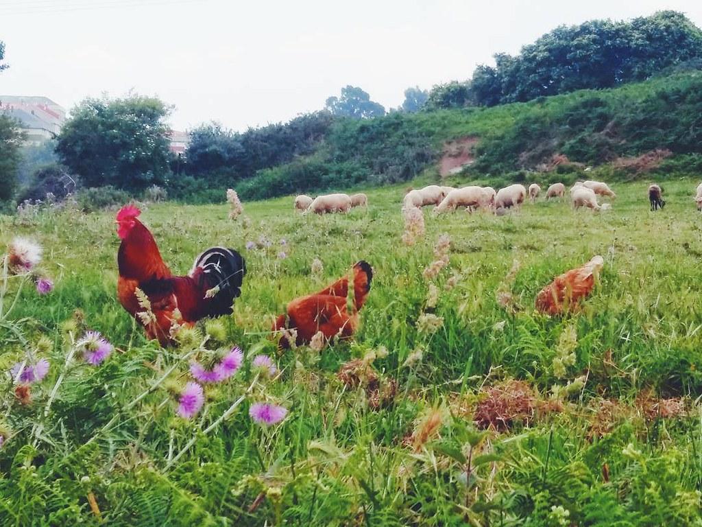 Fauna que me encuentro al volver del trabajo. #ovejas #sheeps #chicken #gallinas #urbannature #coruñarural #coruña #phonephoto #photography #rinconesdeacoruña