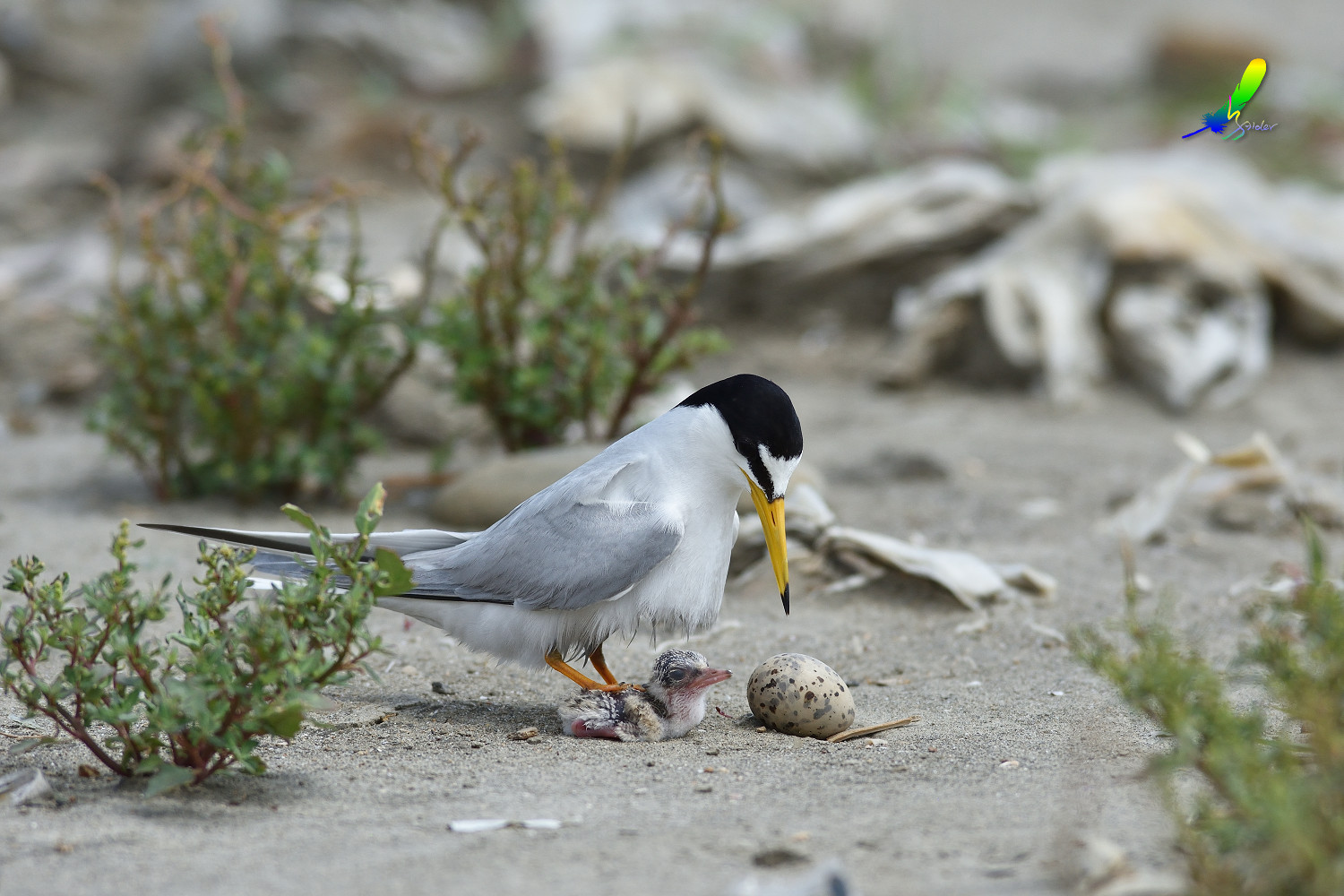 Little_Tern_8945