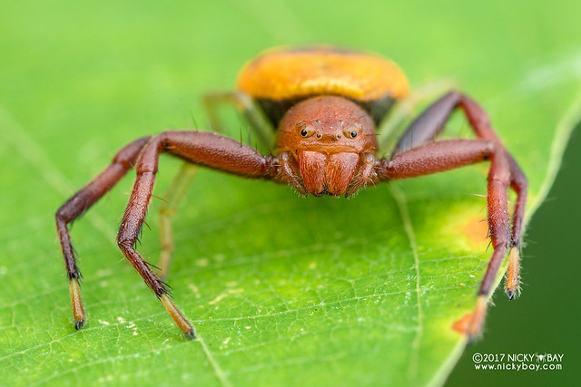 Crab spider (Thomisidae) - DSC_5374