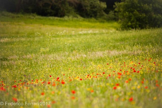 Prato fiorito papaveri primavera tomba dei leoni ruggenti