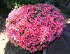 Photo:Azalea / Rhododendron / 躑躅(ツツジ) By TANAKA Juuyoh (田中十洋)