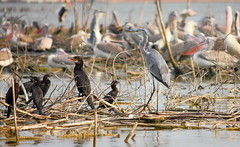 Cormorants and Grey Heron