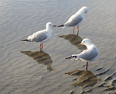 Sea Gulls  at Sandgate (2)