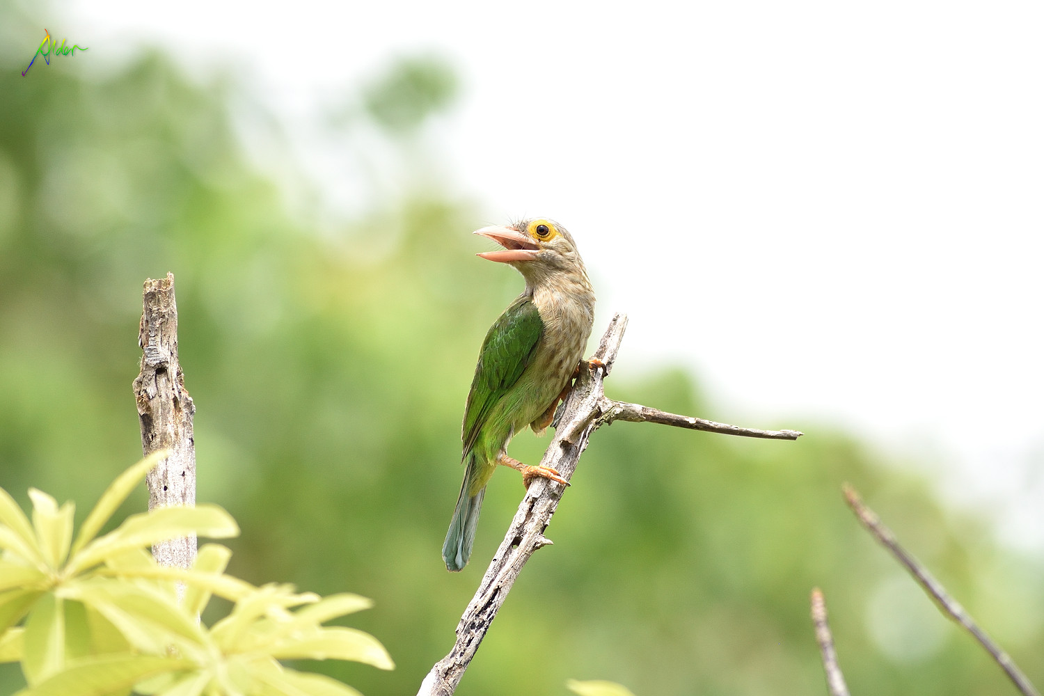 Lineated_Barbet_1541
