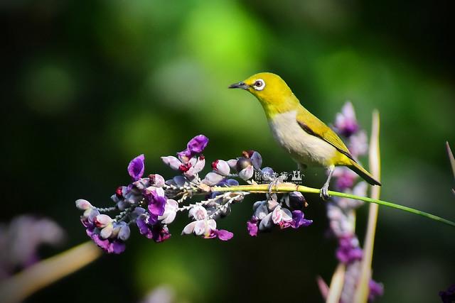 20170531 植物園-綠繡眼 (5), Nikon D5500, AF-S VR Zoom-Nikkor 24-120mm f/3.5-5.6G IF-ED