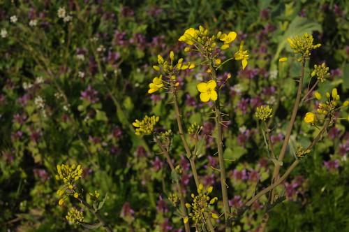 Raps (Brassica napus) vor Purpurroter Taubnessel; Schwabstedt, Nordfriesland (2)