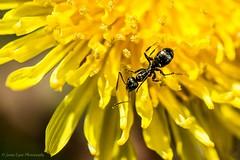 Ant covered in Dandelion pollen