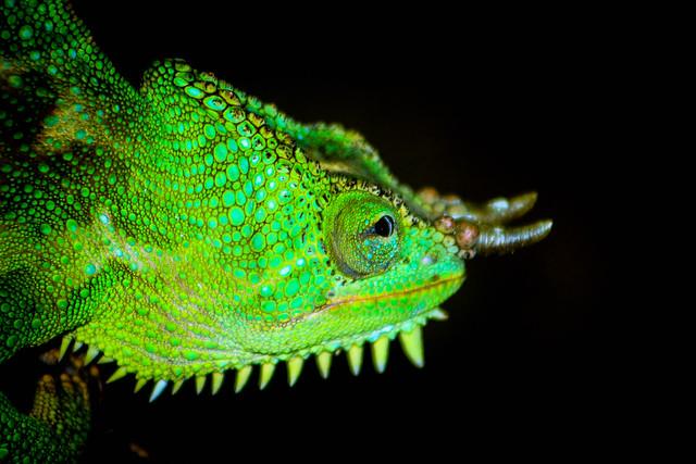 Chameleon (Explored), Canon EOS REBEL T5, Canon EF 75-300mm f/4-5.6 USM