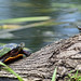 DSC_9505=2PTurtles by laurie.mccarty