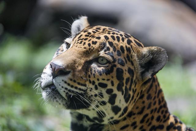 Portrait of a jaguaress