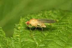Diptera, Lauxaniidae sp. - Everett, WA