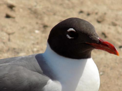 southport nc northcarolina brunswickcounty bird birds gull seagull sandshore laughinggull sunshine animal nature beak outside outdoors