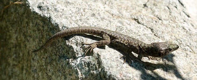 Another type of lizard