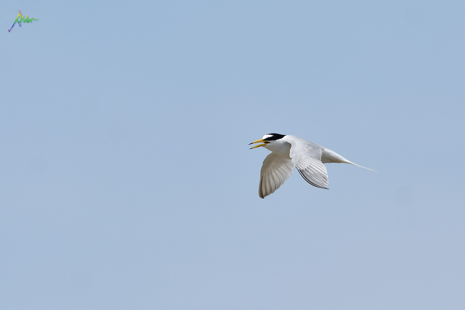 Little_Tern_2500