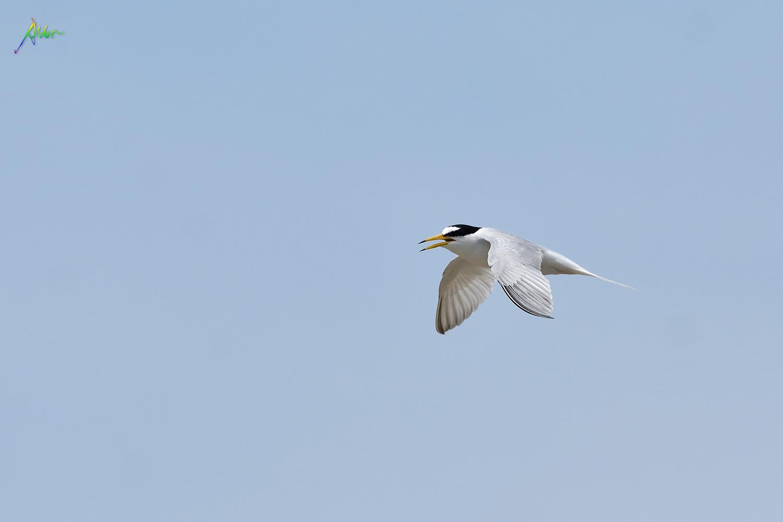 Little_Tern_2500