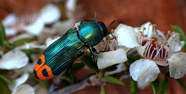 The JEWEL BEETLE in the BLOSSOMS