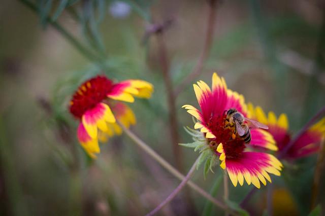 2017_05_28_flower_bee