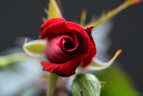 Rose of my home