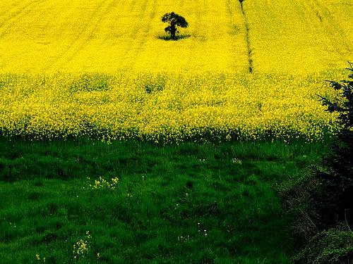 Feld grün-gelb